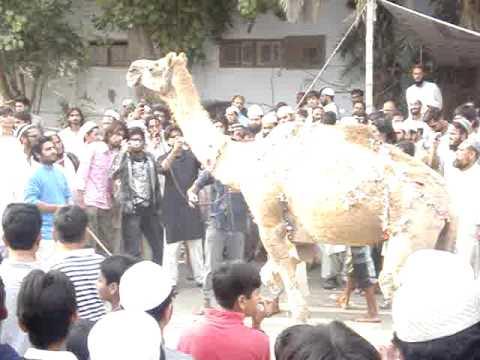 camel kurban at karachi in gulshan e iqbal.