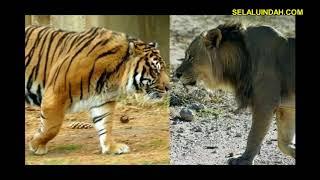 Harimau vs (lawan) Singa Menang Mana
