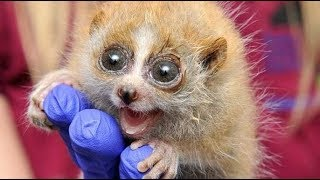 Slow Loris Are The Funniest And Cutest Animals 2017 [BEST OF]