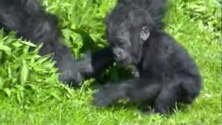 Salome and Kukena ( Bristol Zoo's Gorilla baby at 7 months...) m2ts