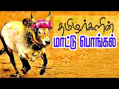 Xxx Mp4 Mattu Pongal Celebration In Tamil Jallikattu Festival Of Tamil Nadu 3gp Sex