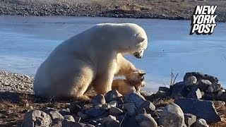 Polar bear stuns onlookers by petting dog instead of eating it