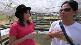 ปลาทองตระกูลสิงห์ (Thai Ranchu Goldfish)