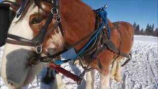 Clydesdale Budweiser Horse Only 4 Years Old Looks Like