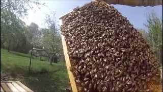 1st Honey Bee Swarm 2015