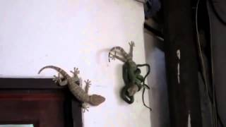 Thailand : Geckos do not give up on each other !