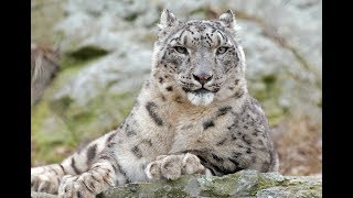 National Geographic Documentary - The Snow Leopard - Wildlife Animals