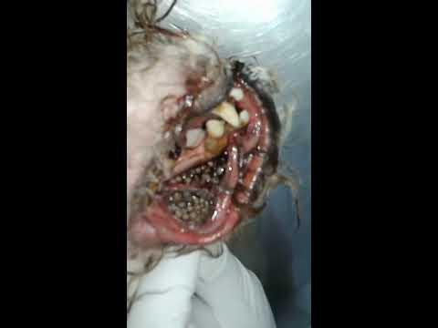Bicheira miíase horrível em boca de cão