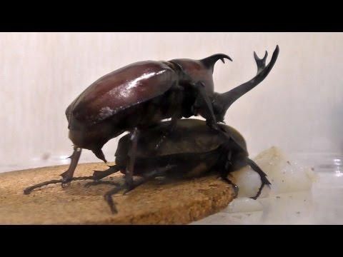 Xxx Mp4 R18 XXX Japanese Rhinoceros Beetle 18禁 カブトムシ 年齢制限を設定しました 20160703 交尾 3gp Sex