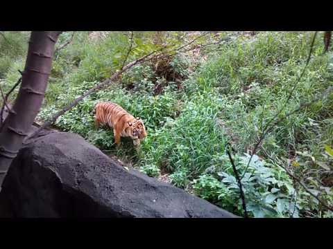 Tiger terror in public