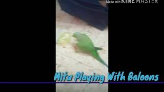 Funny Indian ringneck playing with balloons