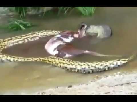 Anaconda se come una vaca y luego la devuelve