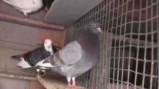 Roller Pigeons ZLS Video 6