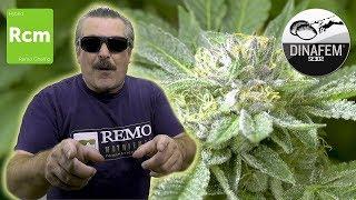 REMO Chemo 7 Weeks Flower DINAFEM SEEDS