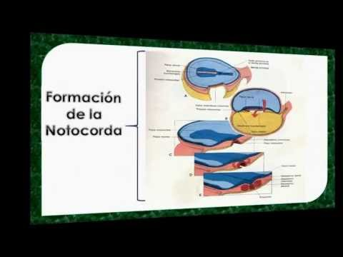 Formación de la Notocorda Neurulación