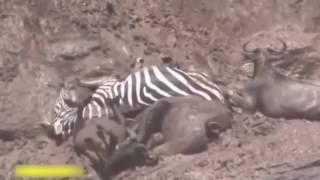 Đấu trường sinh tử  Voi vs Sư Tử vs Trâu vs Cá Sấu, Trâu và sư tử cùng chết trong trận chiến đẫm máu