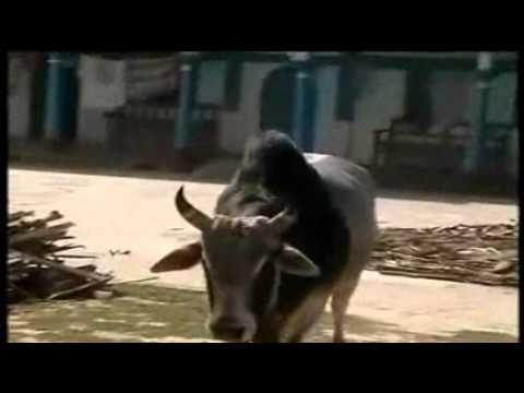 bullfight in bangladesh