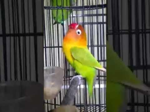 Love Bird Ngekek Durasi Panjang !!! Pemancing Love Bird