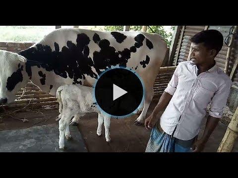 Xxx Mp4 খামার থেকে বাচ্চাসহ ফ্রিজিয়ান গাভি কিনতে দেখুন।।Watch To Buy The Friesian Cow 3gp Sex