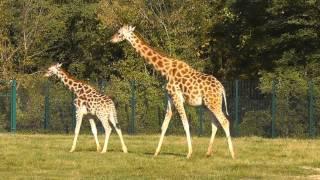 Giraffe, Strauss und Trampeltier - Im Tierpark Berlin