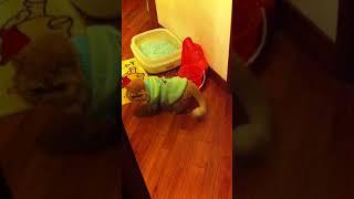Real Garfield the Persian cat asking for open door 4