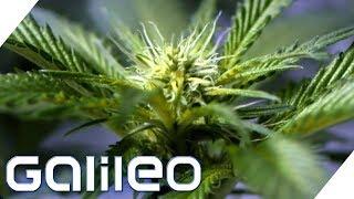 Darum ist Cannabis verboten | Galileo | ProSieben