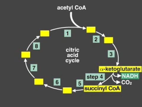 Citric Acid Cycle Explanation (Kreb's cycle)