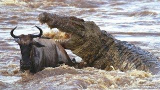 حيواناتٌ مفترسة #  التماسيحُ الضخمة في مواجهة حيوان النّو  !!
