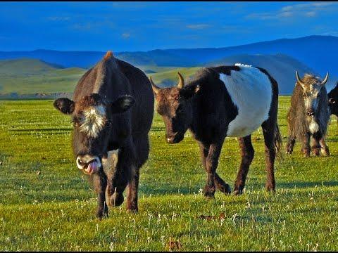 Pelea entre un toro y una manada de Yaks