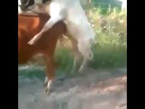 Xxx Mp4 Cow Sex Fail 3gp Sex