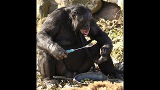Incredible Bonobo Can Actually Start Fires And Cook His Own Food