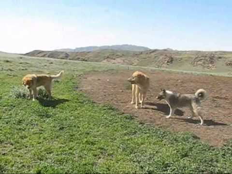 ABORIGINAL CENTRAL ASIAN SHEPHERD DOGS of South Kazakhstan