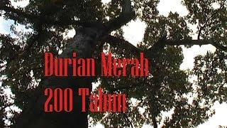 DURIAN MERAH 200 TAHUN BANYUWANGI