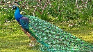 Peacock in All its Glory - मोर - الطاووس