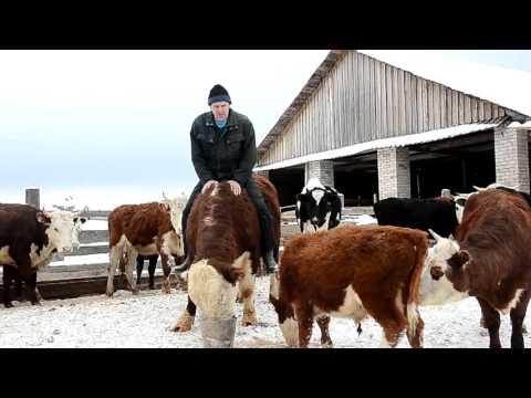 сколько стоит теленок у фермера данной статье
