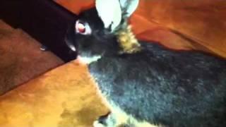 Miyu Netherland dwarf rabbit