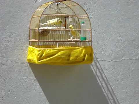 Canarios lancashire fazendo ninho