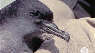 The Mutton Birds of Bass Strait (1956)