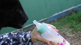 Trying to bottle-feed a baby jaguar