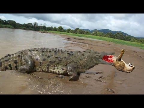 GIANT CROCODILE ATTACKS COMPILATION BIGGEST CROCODILE IN THE WORLD DOCUMENTARY 2016
