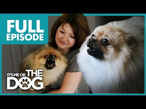 Monster Pomeranian Teddy Pom Pom Full Episode It s Me or the Dog