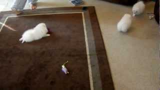 Adorable White Pomeranian puppies playing by The Bomb Poms