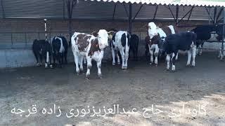 فروش انواع گوساله سیمینتال 09115329245