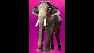 Kandampully Balanarayanan  /Nanu  Ezhuthassan Sivasankaran / star elephant/tallest asian elephant