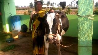 H f cow