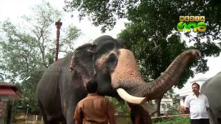 Rejuvenation therapy for elephants begins