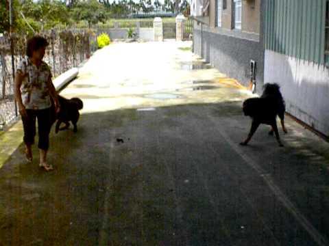 Tibetan Mastiffs Manhandled by my Aunt