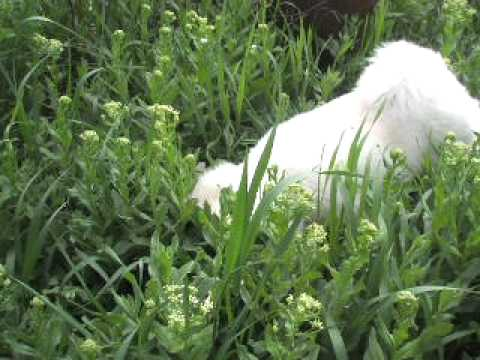 Xxx Mp4 18 XXX Nori The Funniest Dog In The World Discovers An Hedgehog Japanese Spitz 3gp Sex