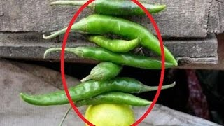 ▶▶মরিচ-লেবু সুতোয় বেঁধে ঝুলিয়ে রাখলে  কী হয়, ভাবতেও পারবেন না! lattest bangla news