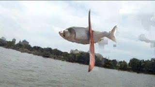 Kill of the Week - Boomerang vs. Asian Carp
